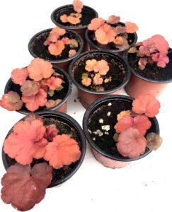 plantas de Heuchera